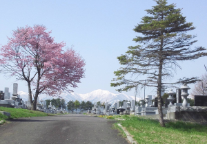 cherry tree on left, old pine on right, frames a cemetery with a snowy mountain in the background