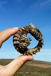 A small lizard curled into a circle against a clear sky, held by a human.