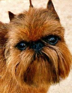 A brussels griffon dog that looks like a Wookiee from Star Wars