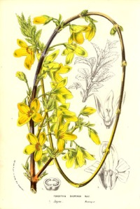 Forsythia is a scentless flower on a bush. Somewhat shaped like lady's slipper. Think spring.
