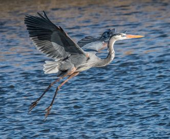 Great_Blue_Heron_Landing