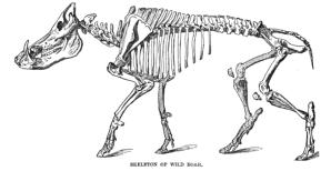 skeleton of a wild boar anatomical sketch
