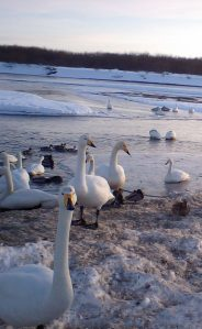 Swans and ducks on Tokachi River's snowy banks.