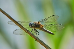 dragonfly-3469873_640