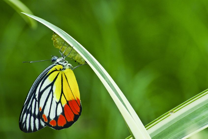15390647 - monarch butterfly, milkweed mania, baby born in the nature