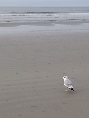 Gull on Kiawah