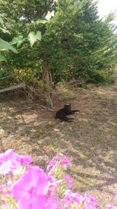 short-haired chonky black cat stretched out under a yew tree. Grape leaves and scented phlox are in the foreground. He's glaring at the camera.