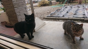 Tom cat looking in the window with his tabby lady cat friend. Both cats have ears perked forward and interested whiskers. Tabby is ready to run, though.