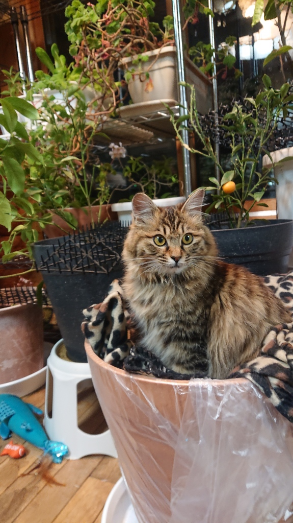 Half-grown long-haired kitten who looks like a Norwegian Forest cat (tabby) sits on a leopard print fleece blanket that's been placed on top of a big pot of soil (if you are curious, it used to be a turmeric plant). Ears forward, whiskers forward, eyes bright and curious. Very regal sitting position.