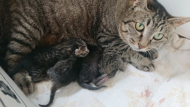 Mama Tabby is a short-haired farm cat. In this picture, all four of her babies are varying shades of tabby. You can see the cute little face of one, and the pink little feet of another. The other three are buried under Mama, looking for milk.